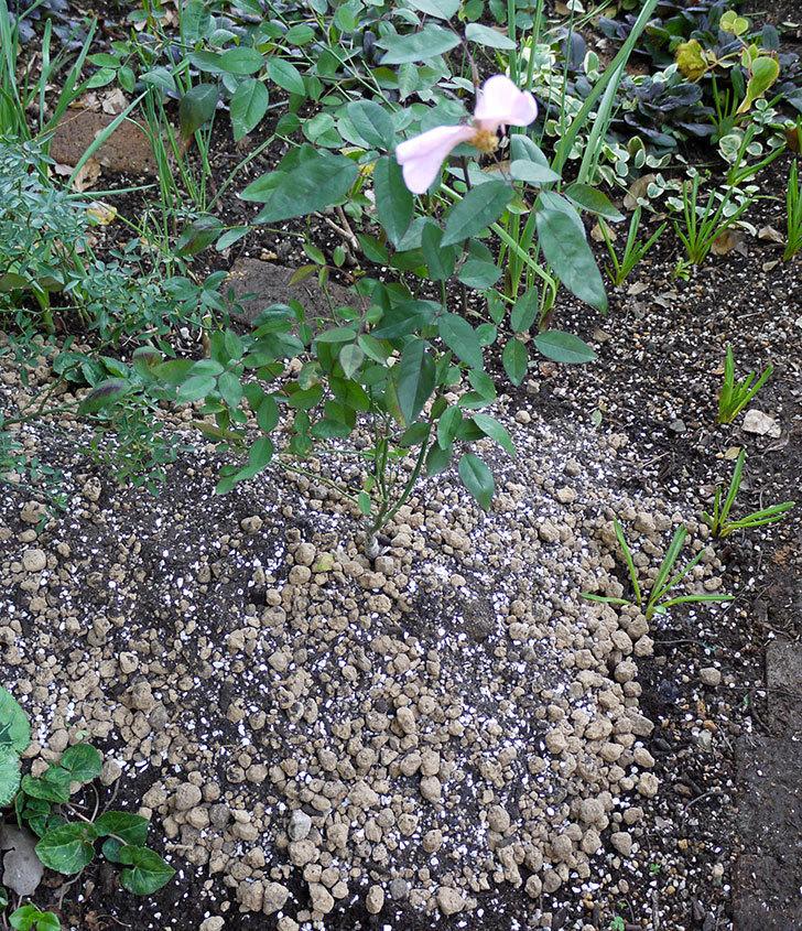 春に買ったムタビリス(木立バラ)の新苗を地植えした。2016年-18.jpg