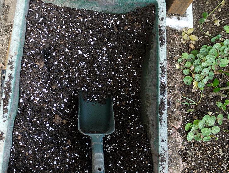春に買ったムタビリス(木立バラ)の新苗を地植えした。2016年-6.jpg