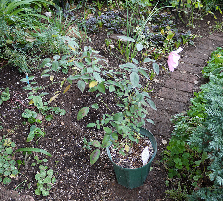 春に買ったムタビリス(木立バラ)の新苗を地植えした。2016年-8.jpg