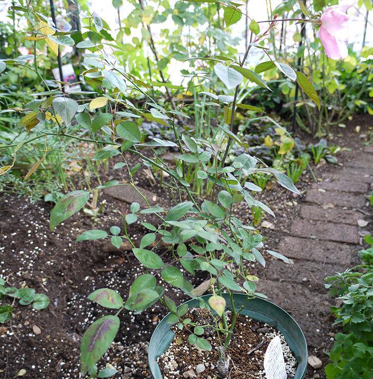 春に買ったムタビリス(木立バラ)の新苗を地植えした。2016年-9.jpg