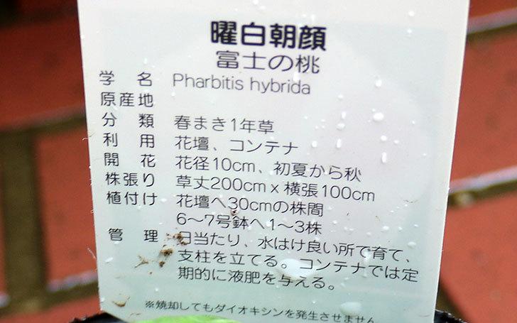 曜白朝顔-富士の桃の苗をカインズで買ってきた2.jpg