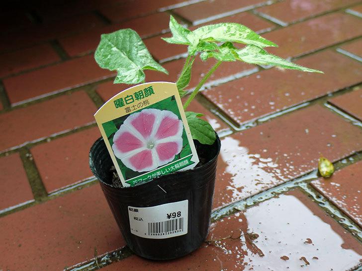 曜白朝顔-富士の桃の苗をカインズで買ってきた3.jpg