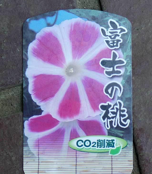 曜白朝顔-富士の桃(アサガオ)の苗を2個買って来た4.jpg