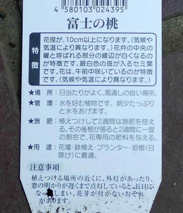 曜白朝顔-富士の桃(アサガオ)の苗を2個買って来た5.jpg