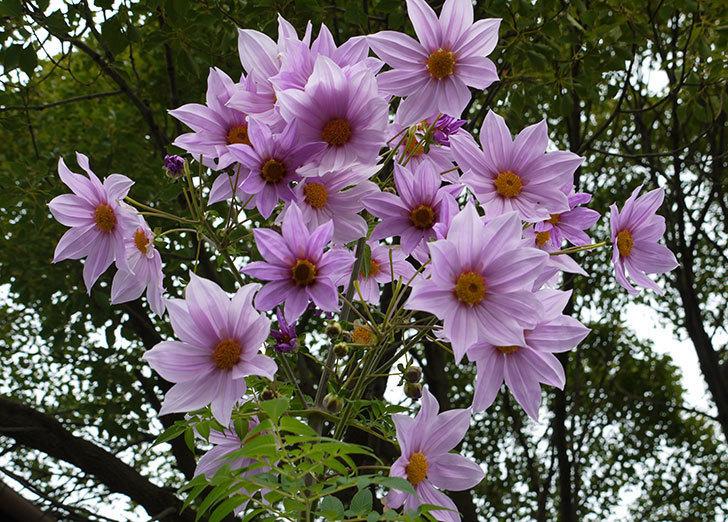 最初の花は散ったけどコウテイダリアの花が咲き続けている。2015年-1.jpg