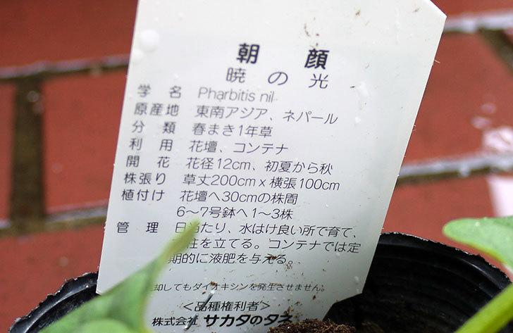 朝顔-暁の光-の苗をカインズで買ってきた5.jpg