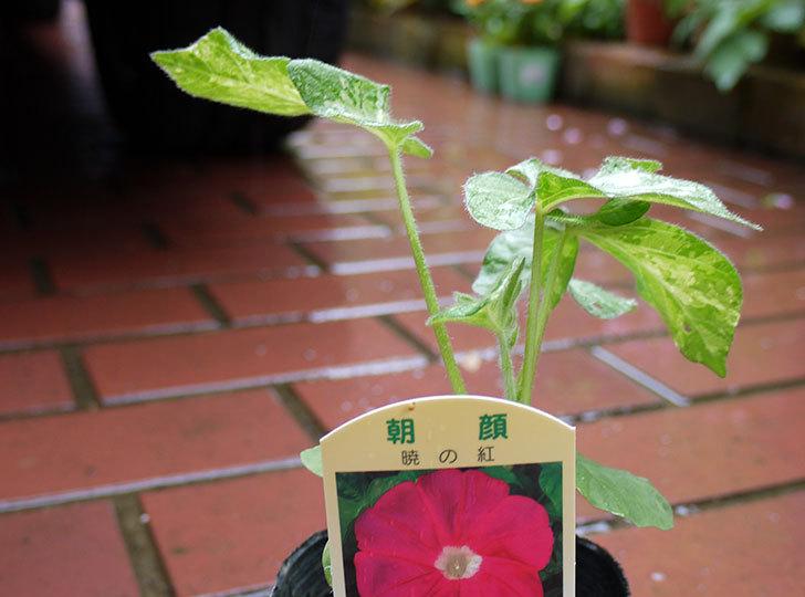 朝顔-暁の紅-の苗をカインズで買ってきた2.jpg