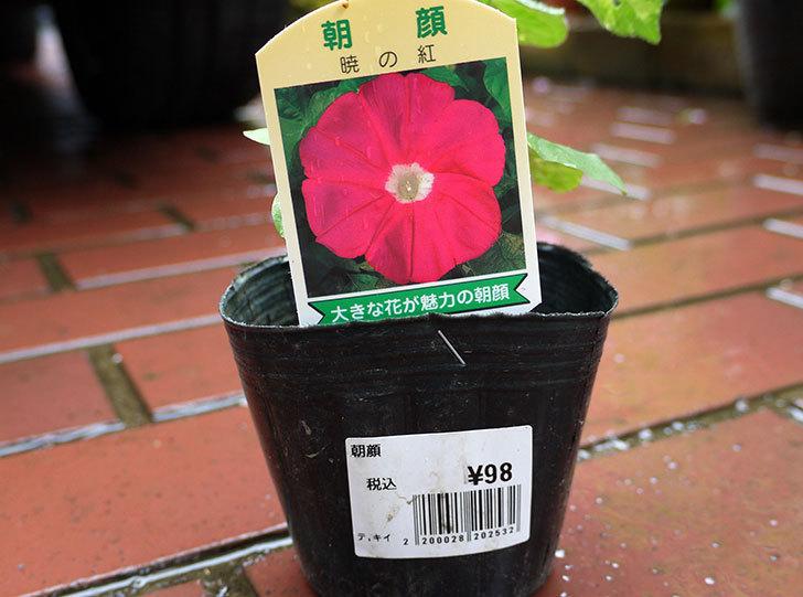 朝顔-暁の紅-の苗をカインズで買ってきた3.jpg