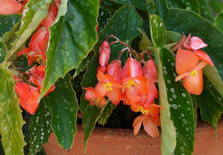 木立ベゴニアの花が咲いた2.jpg