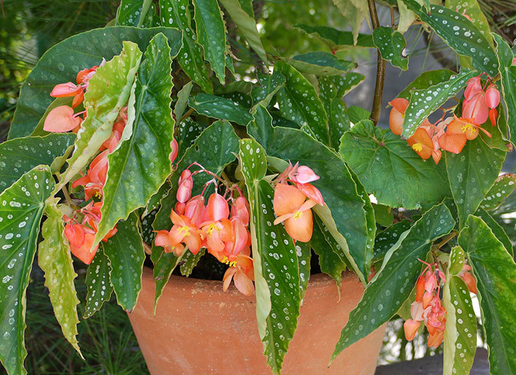 木立ベゴニアの花が咲いた3.jpg