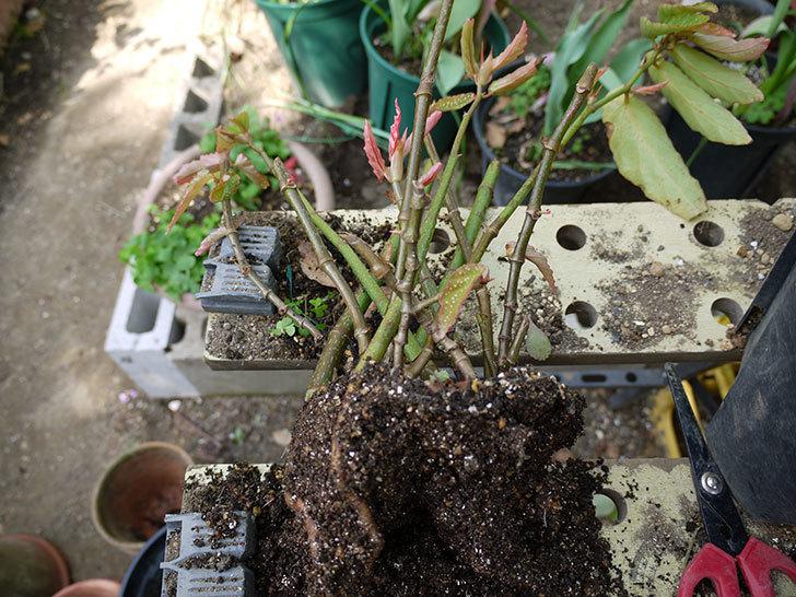 木立性ベゴニアをスリット鉢に植え替えた。2016年-3.jpg