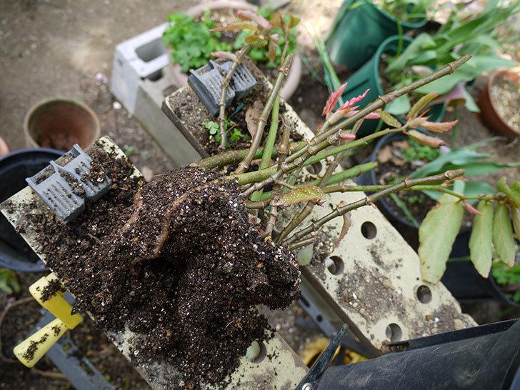 木立性ベゴニアをスリット鉢に植え替えた。2016年-4.jpg