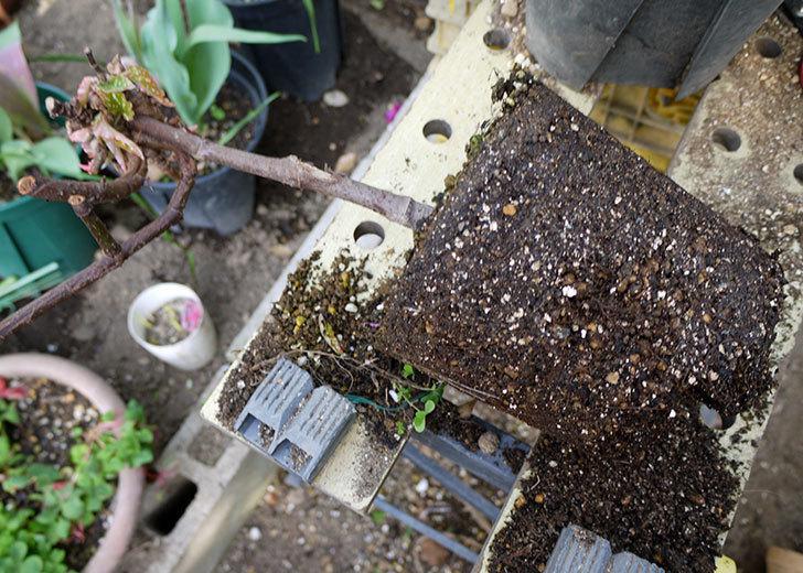 木立性ベゴニアをスリット鉢に植え替えた。2016年-5.jpg