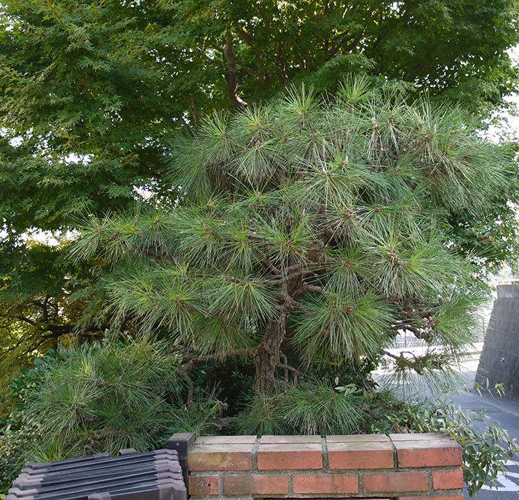松の剪定をした。2016年-1.jpg