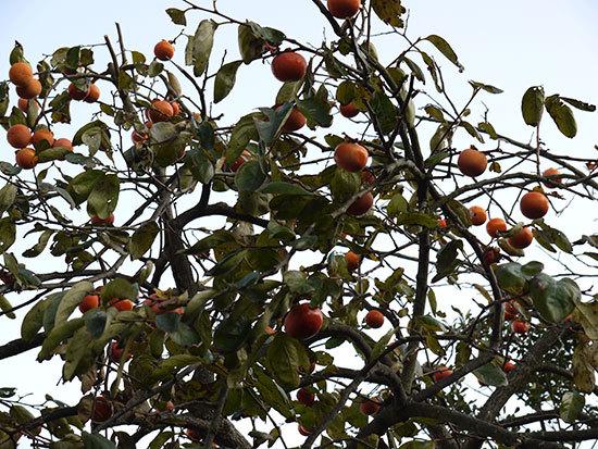 柿が大量に実った1.jpg