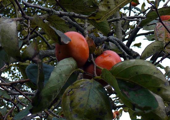 柿が大量に実った2.jpg