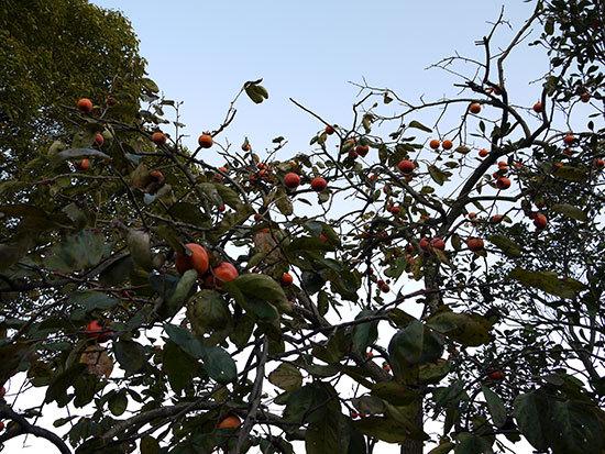 柿が大量に実った3.jpg