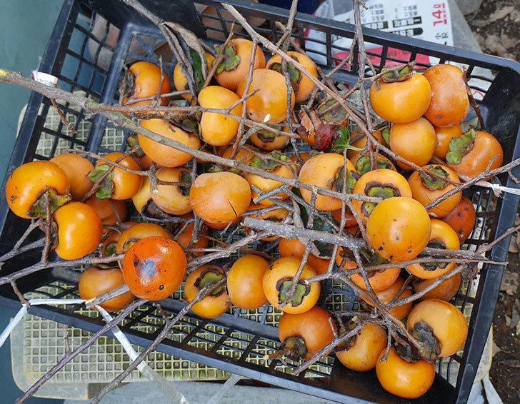 柿の収穫をした。2018年-1.jpg