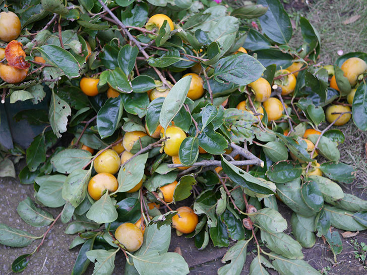 柿の収穫をした。2020年-001.jpg