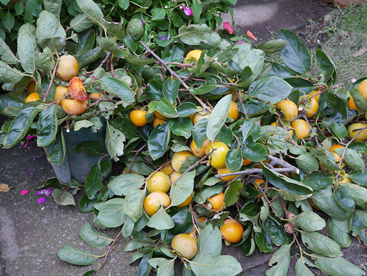 柿の収穫をした。2020年-002.jpg