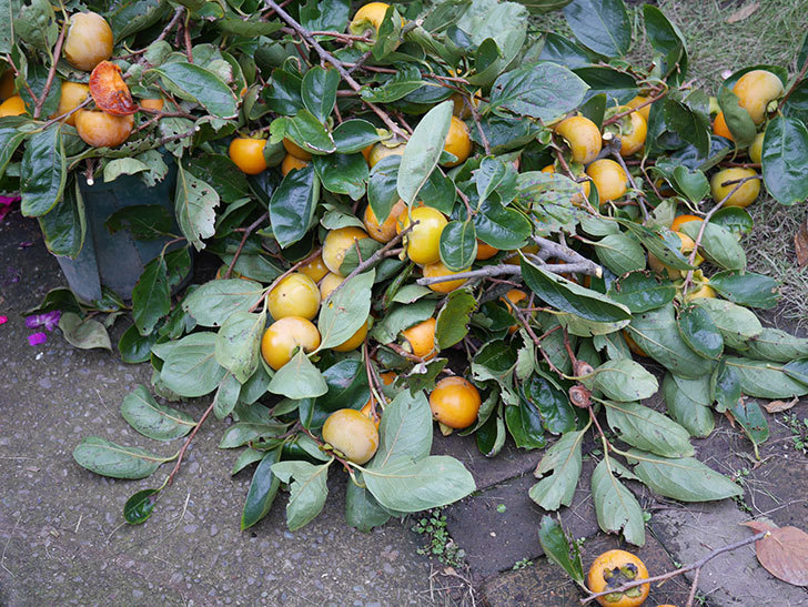 柿の収穫をした。2020年-003.jpg