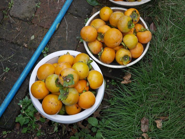 柿の収穫をした。2020年-004.jpg