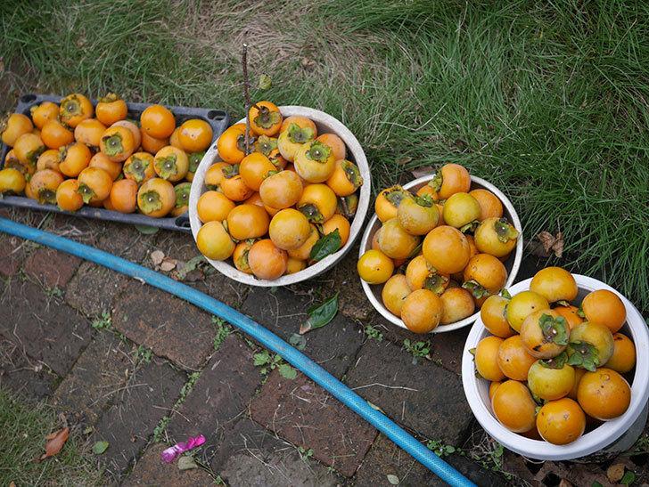 柿の収穫をした。2020年-005.jpg