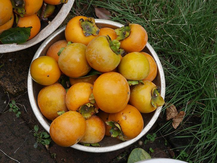 柿の収穫をした。2020年-007.jpg