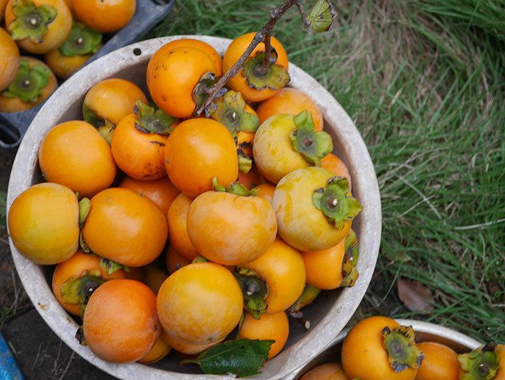 柿の収穫をした。2020年-008.jpg