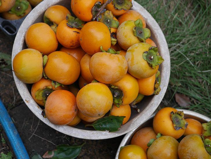柿の収穫をした。2020年-009.jpg