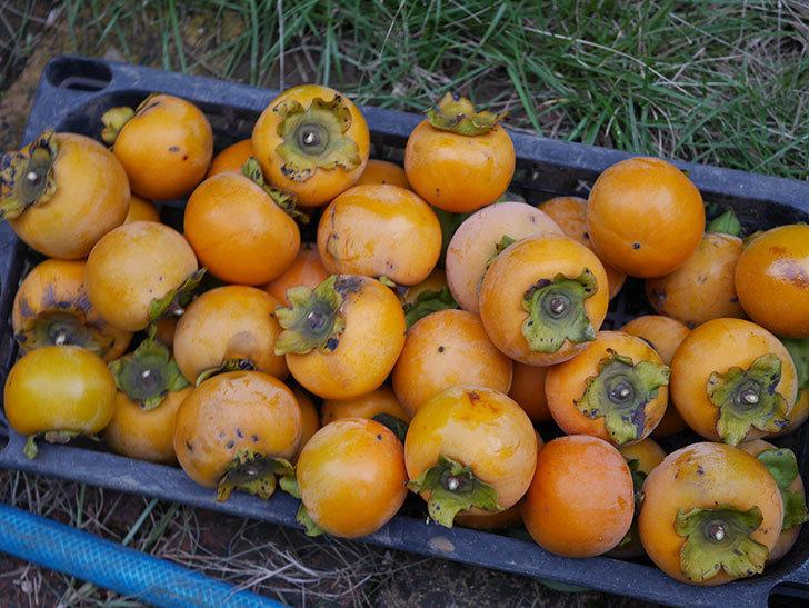 柿の収穫をした。2020年-010.jpg