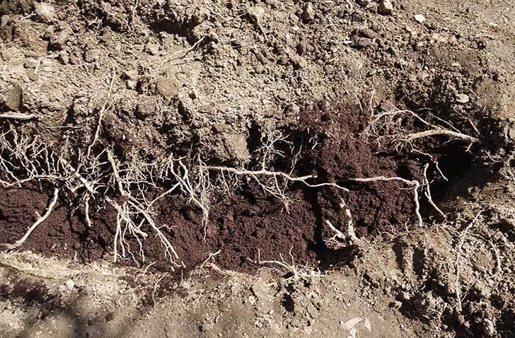 柿の木に寒肥として醗酵牛ふんを施した11.jpg