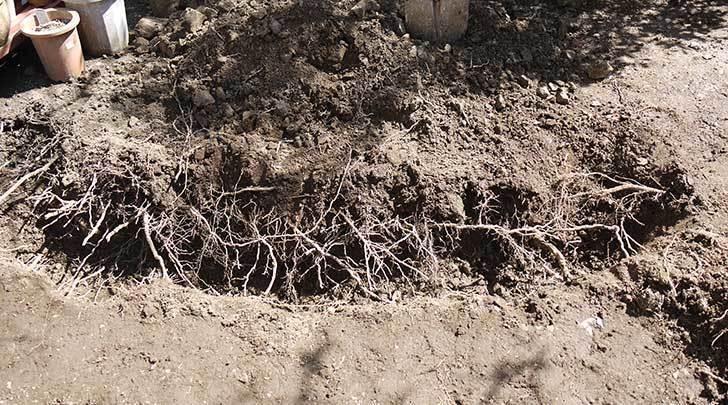 柿の木に寒肥として醗酵牛ふんを施した5.jpg