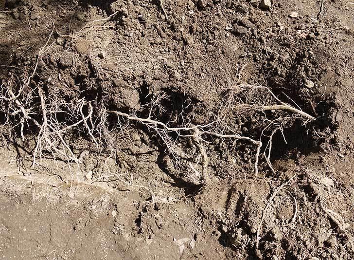 柿の木に寒肥として醗酵牛ふんを施した7.jpg
