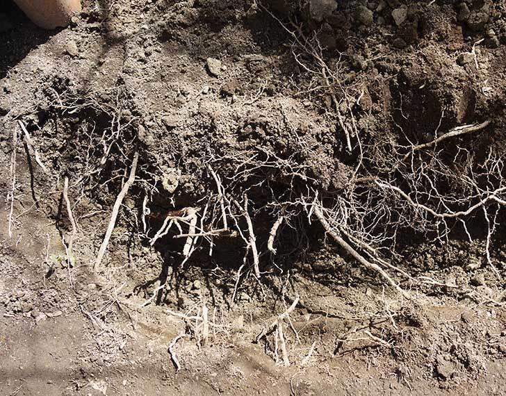 柿の木に寒肥として醗酵牛ふんを施した8.jpg