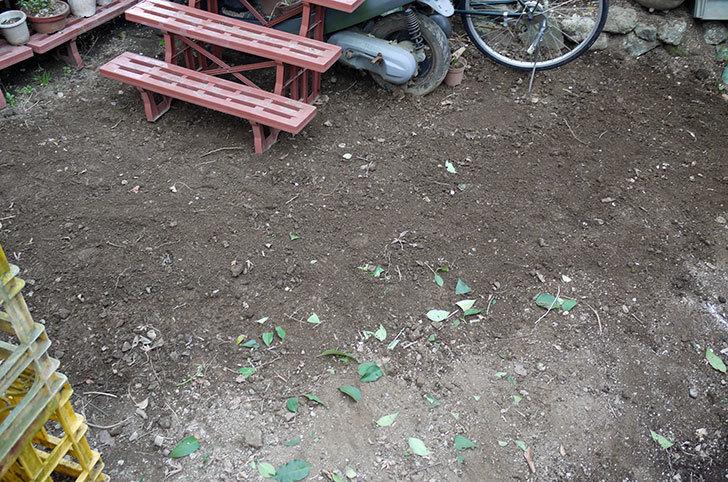 柿の木に寒肥をやった。2016年-13.jpg
