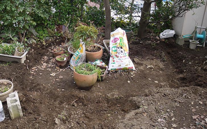 柿の木に牛糞と貝化石を与えた1.jpg