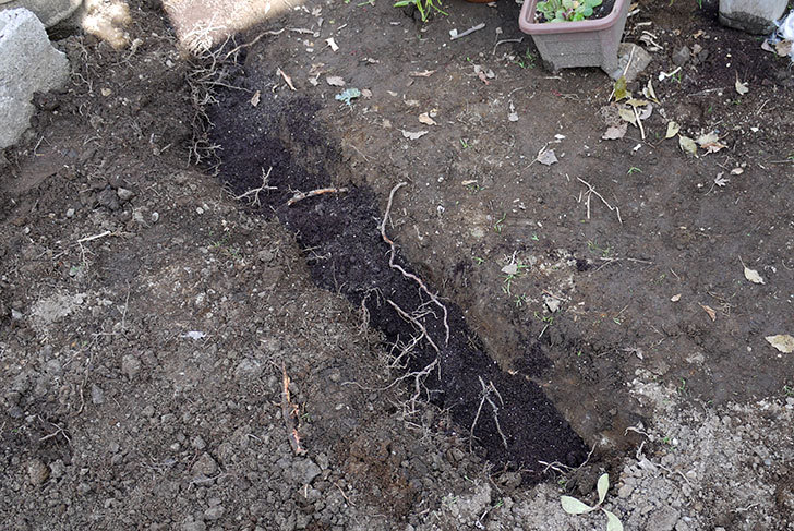 柿の木に牛糞と貝化石を与えた12.jpg