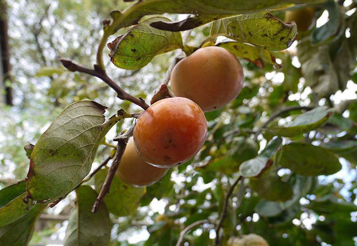 柿の木の実が食べ頃になってきた1.jpg