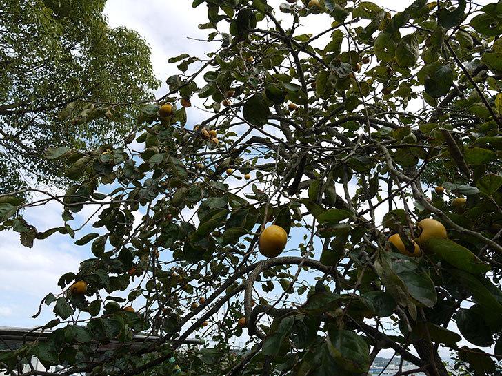 柿の木の実が食べ頃になってきた2.jpg