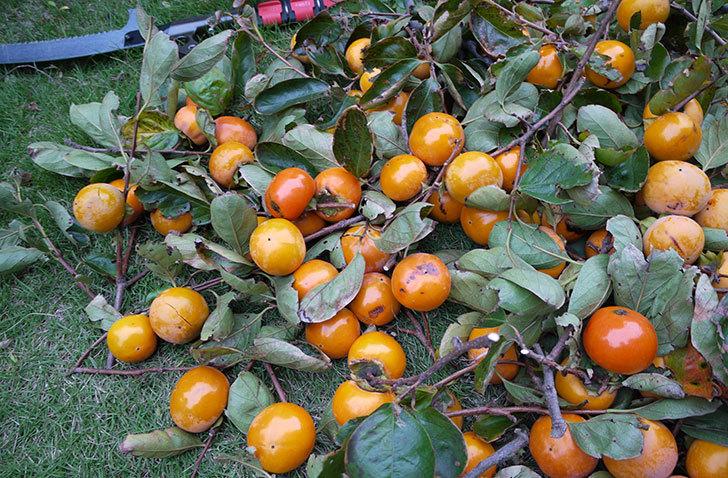 柿を収穫した。2014-1.jpg