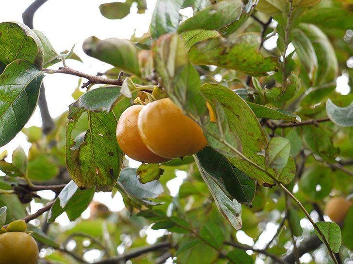 柿を収穫した。2014-2.jpg