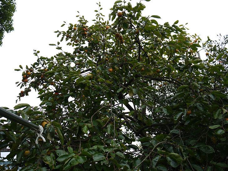 柿を収穫した。2014-3.jpg