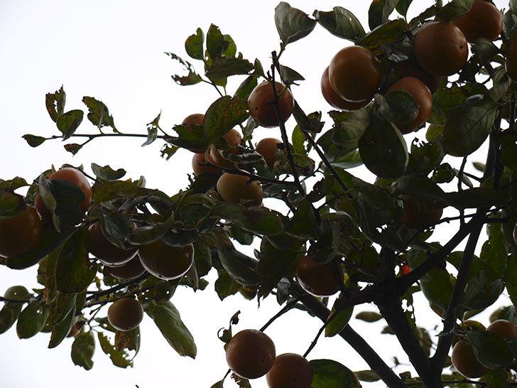 柿を収穫した。2014-4.jpg