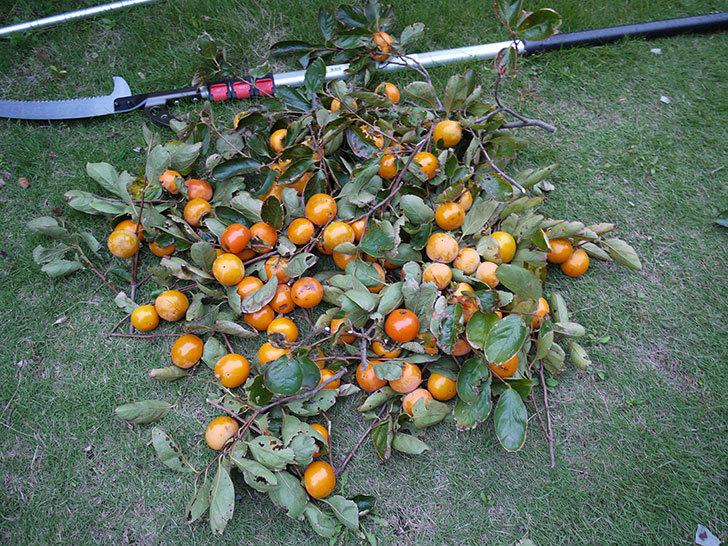 柿を収穫した。2014-5.jpg