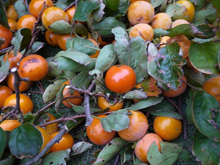柿を収穫した。2014-6.jpg