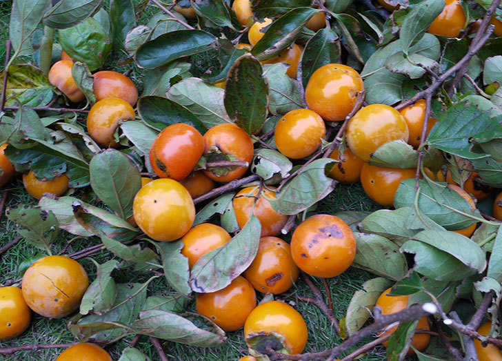 柿を収穫した。2014-7.jpg