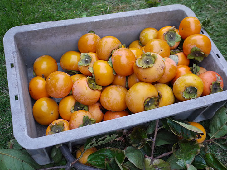 柿を収穫した。2014-8.jpg