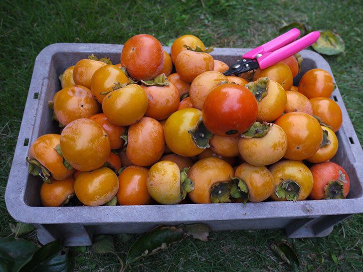 柿を収穫した。2014-9.jpg