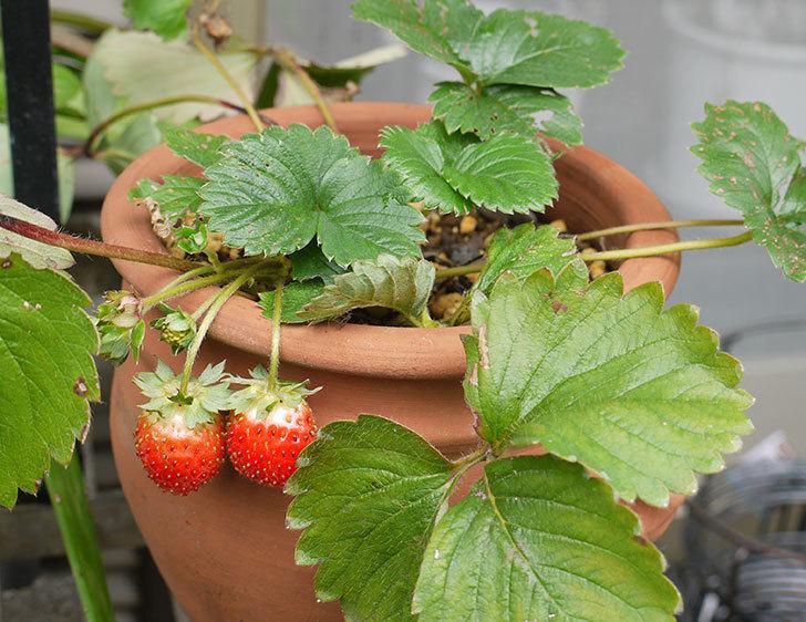 株分けしたイチゴの実が赤くなってきた。2015年-1.jpg